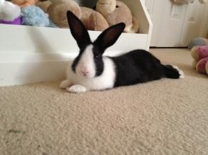 Velveteen bunny champion.